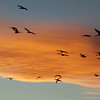 Sandhill Cranes and geese against sunset-splattered cloud