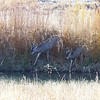 Mule Deer - having a drink