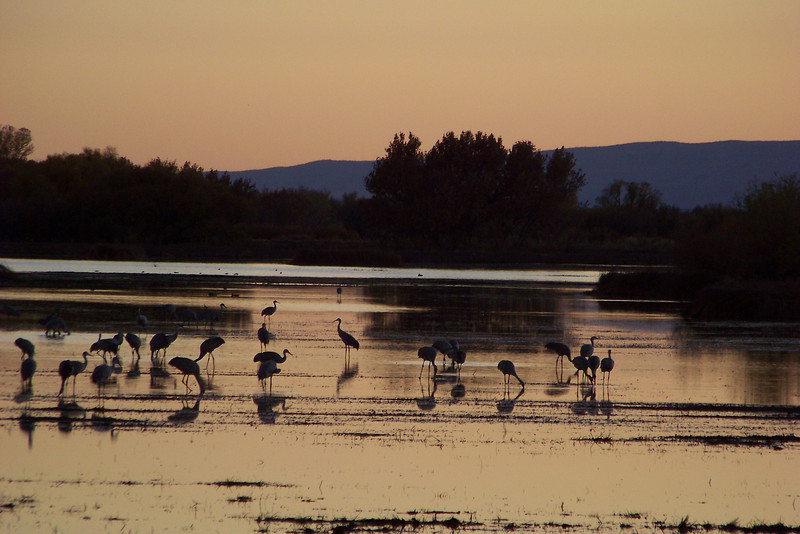 Sandhill Cranes gathered for the night.