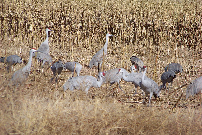 After breakfast and a classroom presentation (and a chance to warm up), the experts take us, via bus, around the refuge in search of cranes to observe.  We got very lucky.