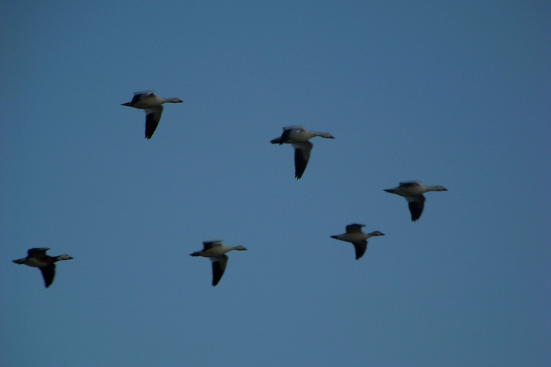 Geese in a classic V formation