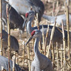 Sandhill Cranes -- the red on their heads is a patch of bare skin.  They can express their emotions by changing the size and color of the patch.