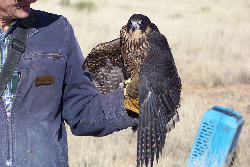 The falconer (Matt Mitchell) spent lots of time talking about Peregrines and the art of both raptor rehabilitation and falconry.