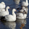 Snow Geese -- the scruffy looking ones are juveniles (and the small goose in the left-hand corner is a Ross's Goose)
