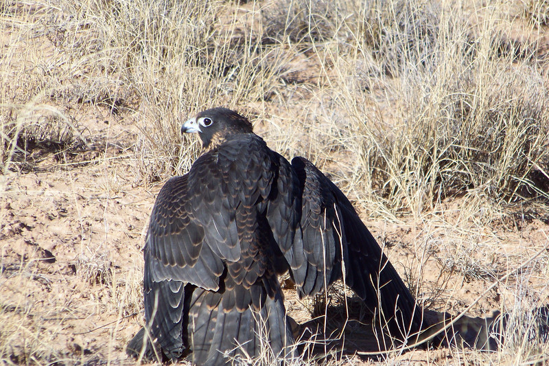 After the pigeons escaped, the falconer swung a lure (rock containing meat), which the falcon caught, and then settled down to eat.  She's mantling the prey here.