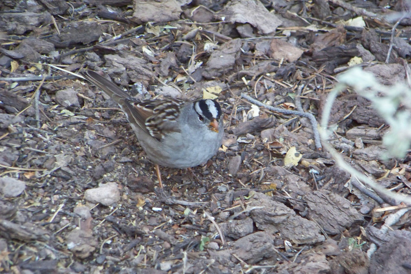 I had time to kill before my next scheduled activity, so I enjoyed a cappucino and some White-crowned Sparrows hanging around the Visitor's Center.