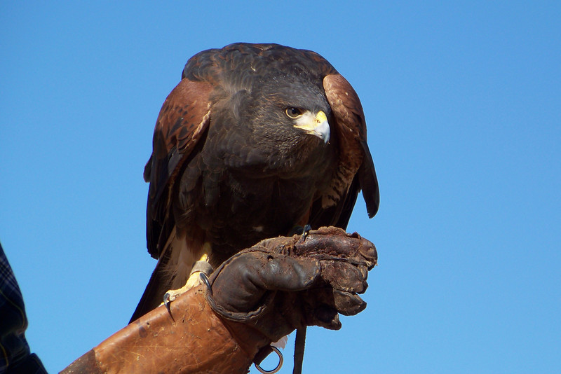 Harris's Hawk looking very intense.