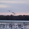 Sandhill Cranes returning to their evening roost
