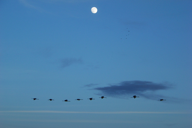 """After my hike I needed to rush to make the evening """"Fly-In"""" program, which was worth seeing multiple times!  This time the cranes were passing an almost-full moon."""