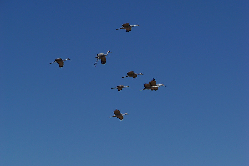 Sandhill Cranes -- one bird is starting to lower the landing gear.