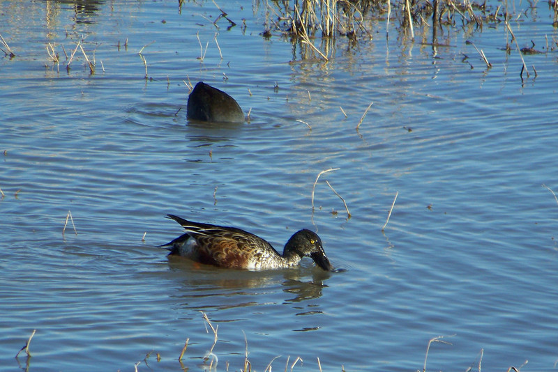 Also hanging out in the goose pond was a Northern Shoveler