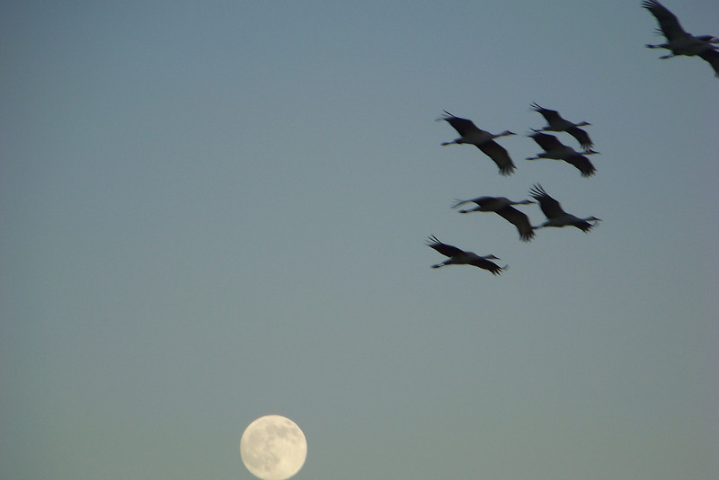 Sandhill Cranes and full moon