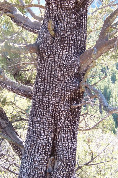 Alligator Juniper (Juniperus deppeana)