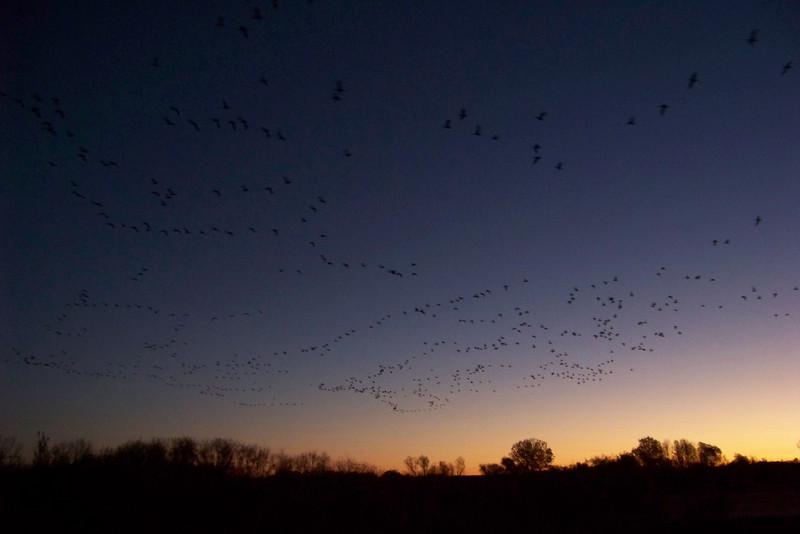 """Day 3: November 18th -- another morning of early-morning torture!  I attended the """"Fly Out"""" event, (starts at 5:30 am) where the staff hauled us, in buses, to a spot in the refuge where huge numbers of Sandhill Cranes and white geese spent the night.  We watch them leave at sunrise."""
