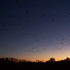 "Day 3: November 18th -- another morning of early-morning torture!  I attended the ""Fly Out"" event, (starts at 5:30 am) where the staff hauled us, in buses, to a spot in the refuge where huge numbers of Sandhill Cranes and white geese spent the night.  We watch them leave at sunrise."