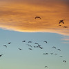 Sandhill Cranes and geese - blue sky, orange cloud