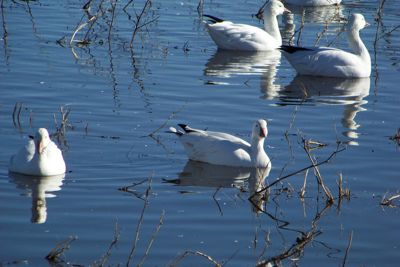 On my way back to the visitor's center to get ready for my evening program, I stopped at a large pond where the white geese hang out.