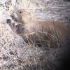 Digiscoped Prairie Dog
