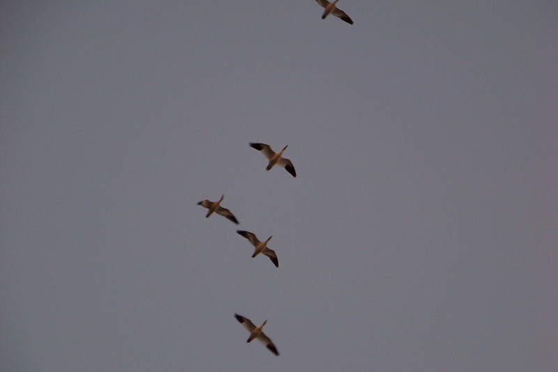 The geese began arriving slightly earlier than last night.