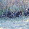 A few of the Wild Turkeys were strutting their stuff.