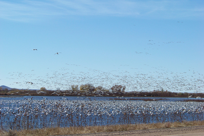 Our workshop wrapping up, we meandered back toward the visitor's center, stopping because some white geese were stirred up, which is a magnificent sight!
