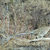 This Greater Roadrunner paused almost long enough for me to take his photo.