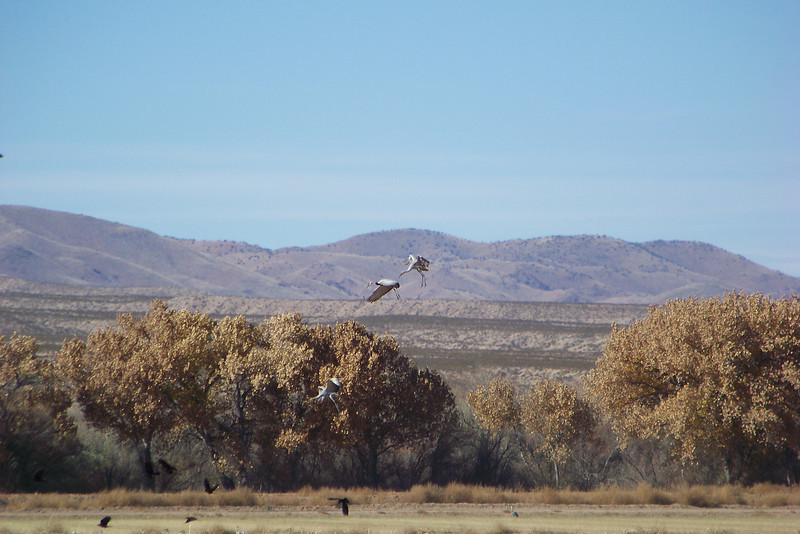 Sandhill Cranes making the crows scatter.
