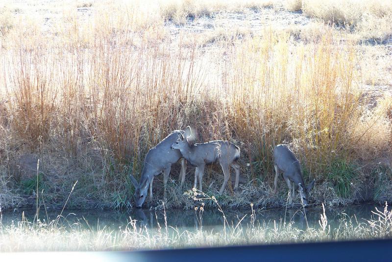 Mule Deer - having a drink