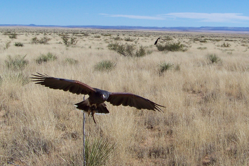 Harris's Hawk, on the way back to the crowd.