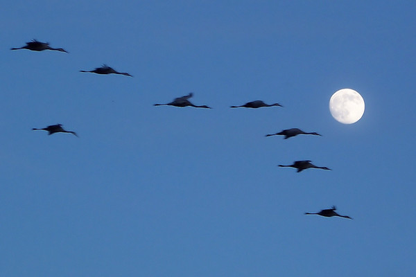"""The Sandhill Cranes at Bosque del Apache fly in to the refuge to roost in the shallow water every night, safer from predators there.  I compiled this video of the highlights from this nightly """"fly-in""""."""