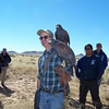 Harris's Hawks, because they are social hunters, make great falconry birds; they seemed very much at home among the crowd, occasionally landing on a stranger's shoulder, just as they've landed on Matt's.