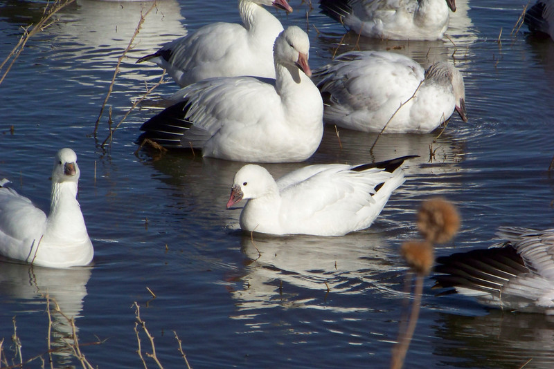 Ross's Goose in front; Snow Goose looking down condescendingly...