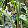 Common Yellowthroat,  May 14th, 2011