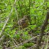 American Woodcock,  May 14th, 2011