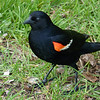 Red-winged Blackbird, May 12th, 2011