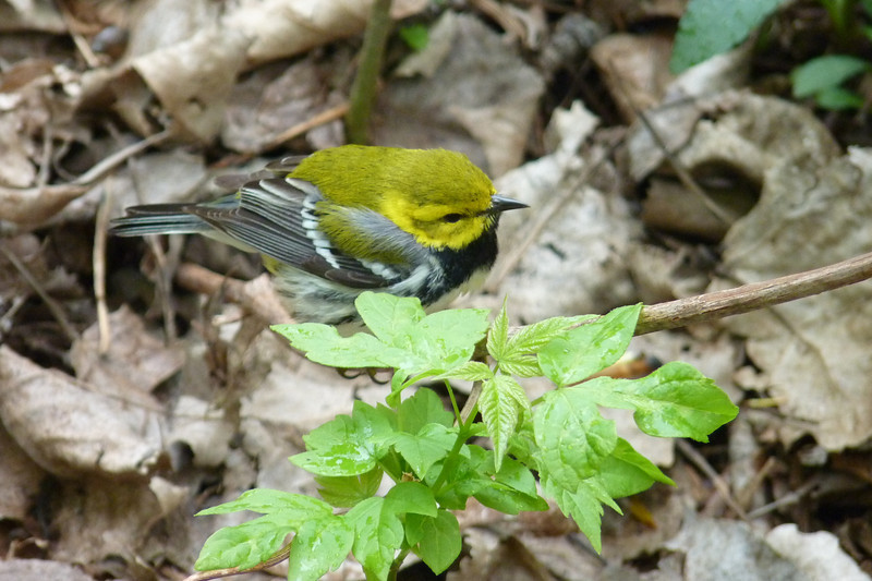 Black-throated Green Warbler,  May 14th, 2011