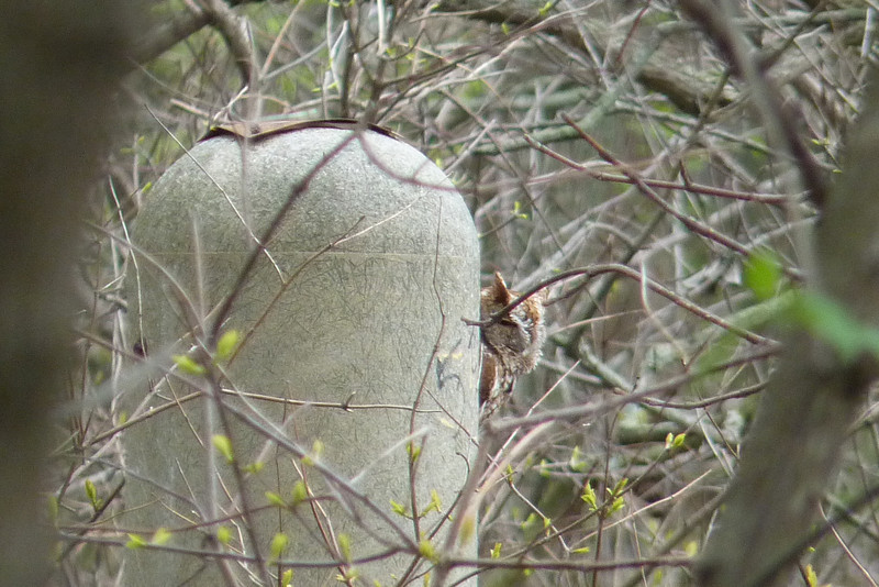 """There was a pair of Eastern Screech Owls hanging around, this """"red phase"""" one was spending time in a Wood Duck box.  May 13th, 2011"""