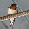 Barn Swallow, May 12th, 2011