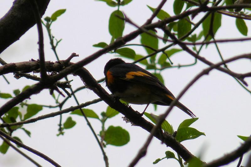American Redstart,  May 14th, 2011