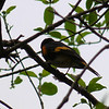 American Redstart,  May 14th, 2011