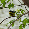Magnolia Warbler, May 11th, 2011