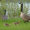 Canada Goose family,  May 14th, 2011