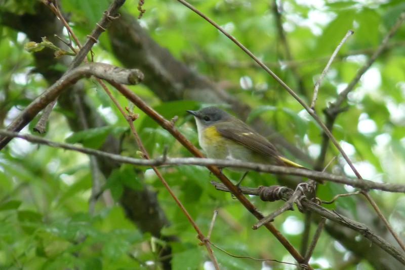 American Redstart female,  May 14th, 2011