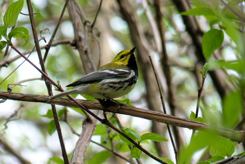 Black-throated Green Warbler, May 11th, 2011.  This first set of photos were taken in the evening at Magee Marsh Wildlife Area in Ohio, on the shore of Lake Erie.