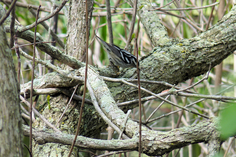 Black-and-white Warbler,  May 14th, 2011