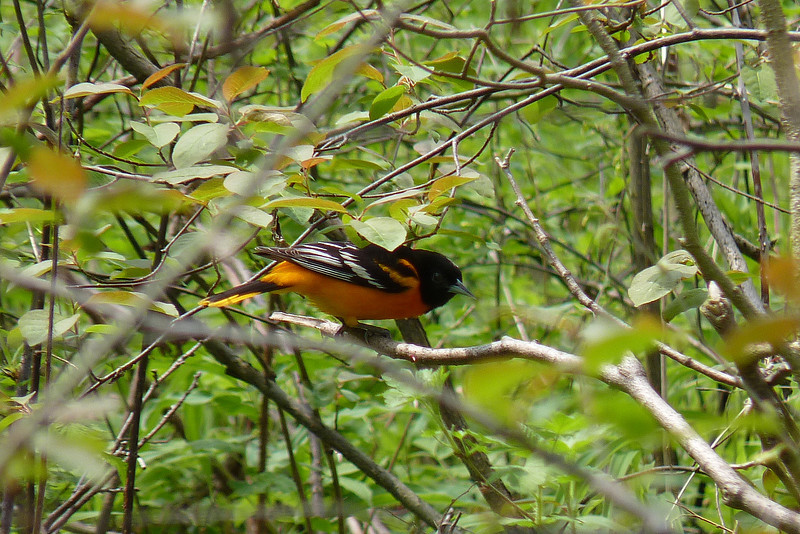 Baltimore Oriole, May 12th, 2011