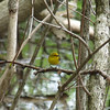 Prothonotary Warbler,  May 14th, 2011