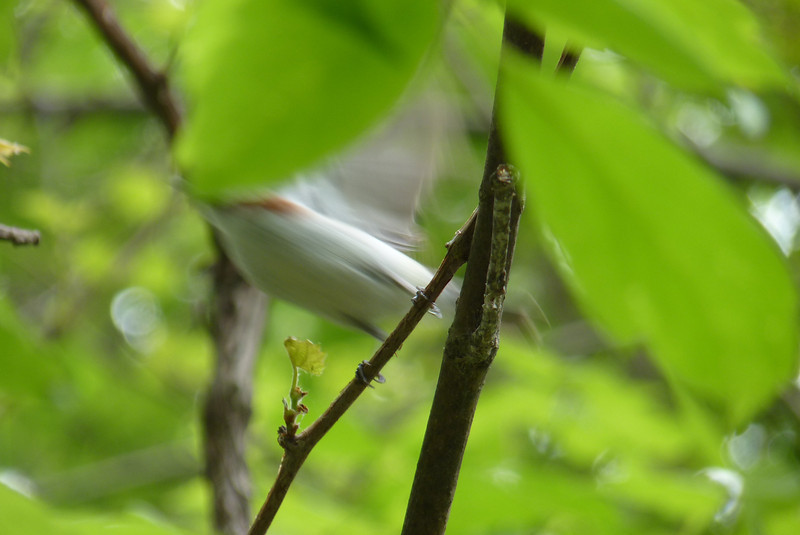 Chestnut-sided Warbler -- I took many pictures that look like this!  Trying to catch foraging warblers in a still moment is next to impossible...  May 14th, 2011