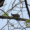 Back at Magee Marsh, I find another Common Nighthawk in the same tree as this morning; both birds are there now.  May 13th, 2011