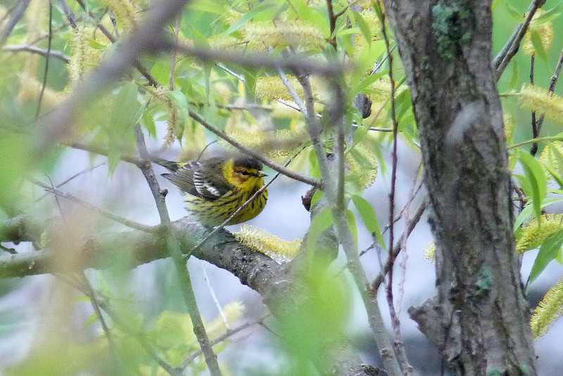 Cape May Warbler,  May 14th, 2011